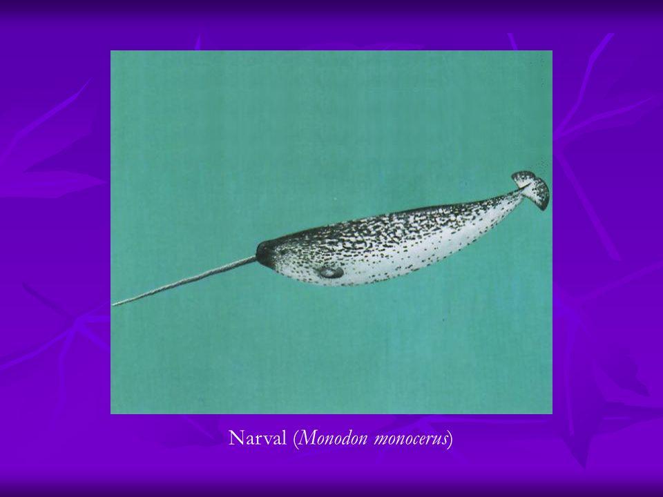 Narval (Monodon monocerus)