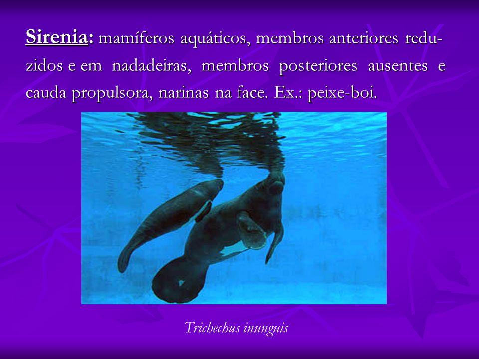 Sirenia: mamíferos aquáticos, membros anteriores redu-
