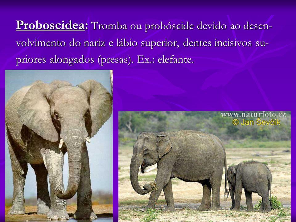 Proboscidea: Tromba ou probóscide devido ao desen-
