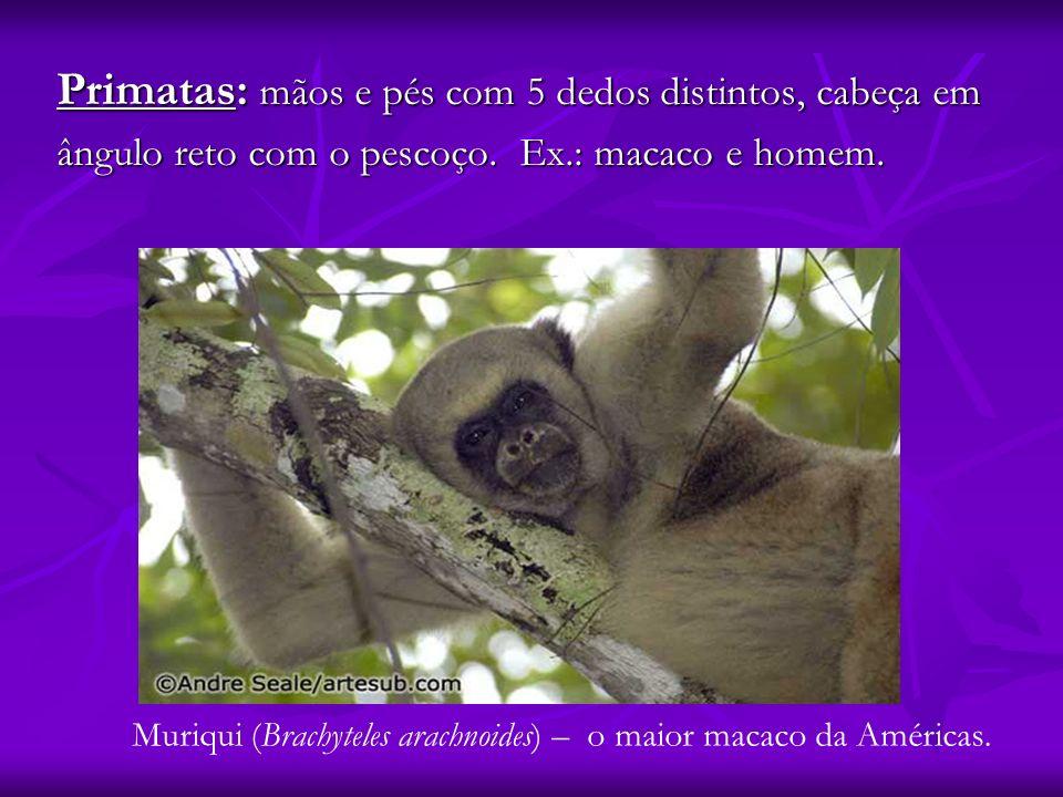 Primatas: mãos e pés com 5 dedos distintos, cabeça em