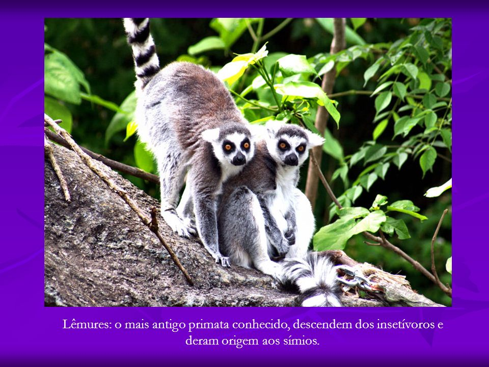 Lêmures: o mais antigo primata conhecido, descendem dos insetívoros e