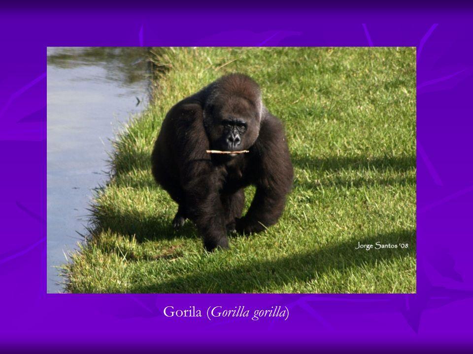Gorila (Gorilla gorilla)