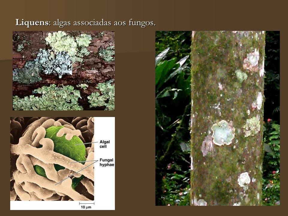 Liquens: algas associadas aos fungos.
