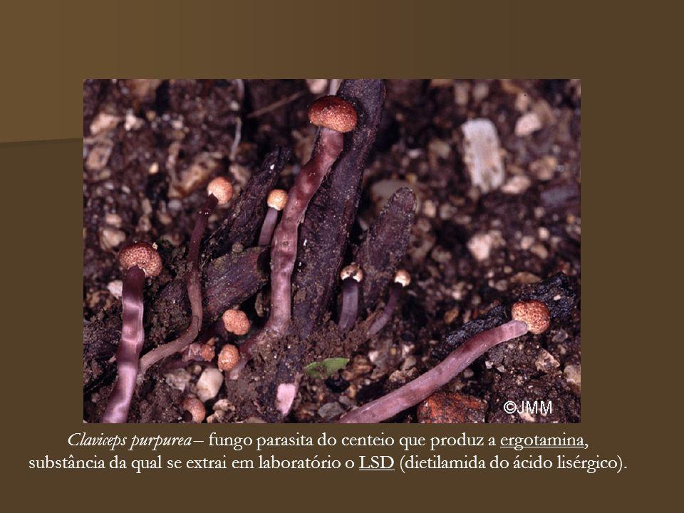 Claviceps purpurea – fungo parasita do centeio que produz a ergotamina,
