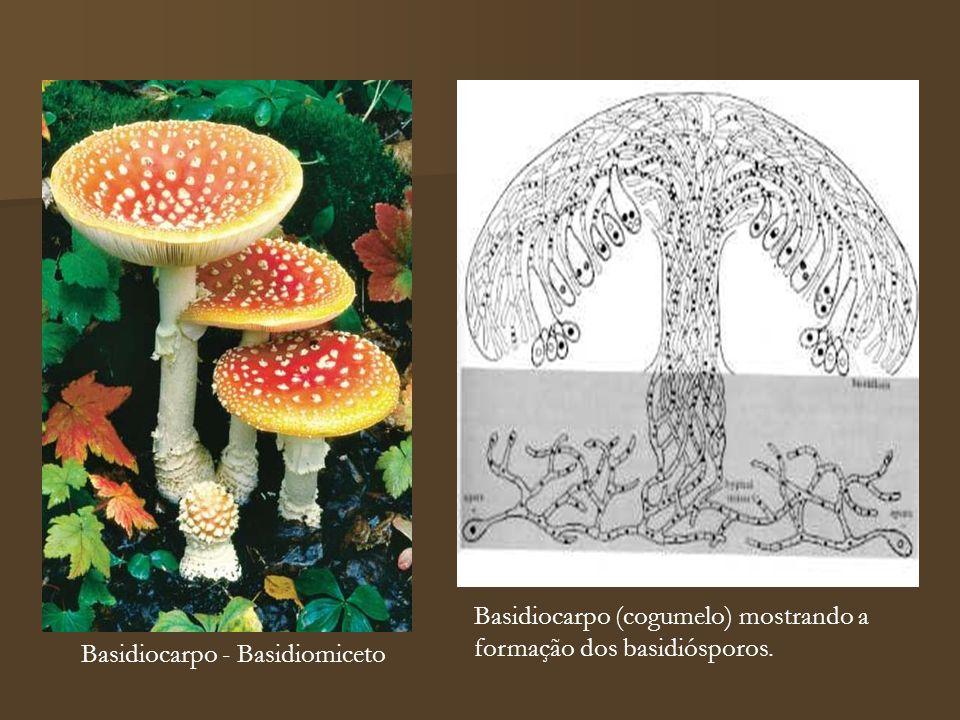 Basidiocarpo (cogumelo) mostrando a