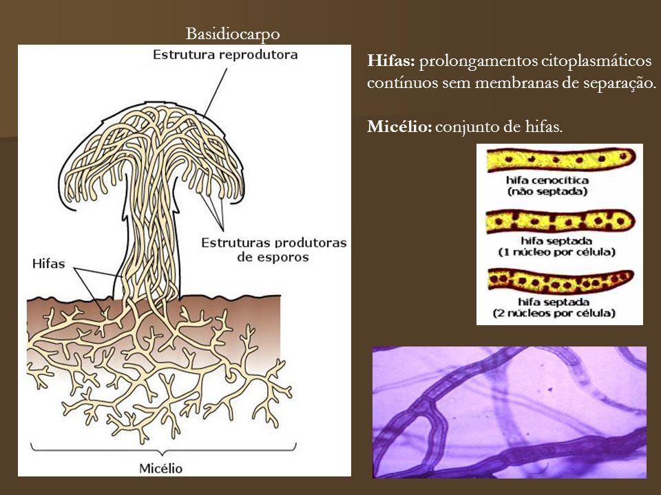 Basidiocarpo Hifas: prolongamentos citoplasmáticos.