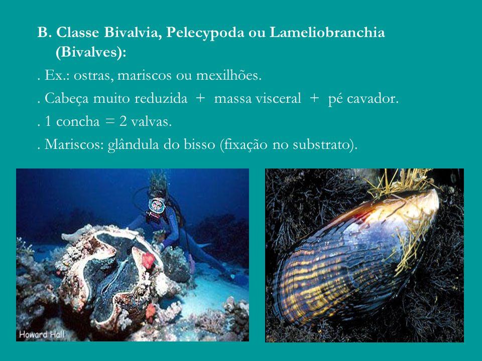 B. Classe Bivalvia, Pelecypoda ou Lameliobranchia (Bivalves):