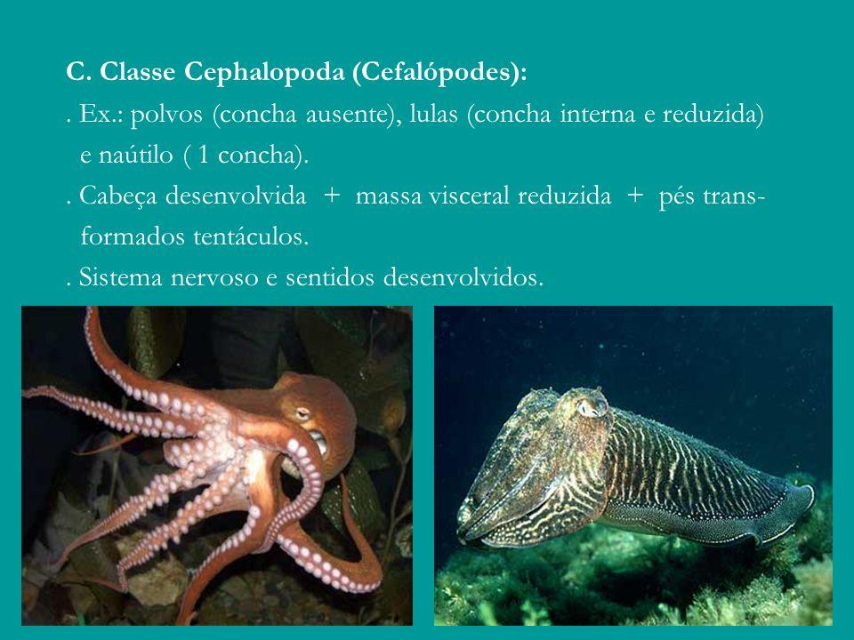 C. Classe Cephalopoda (Cefalópodes):