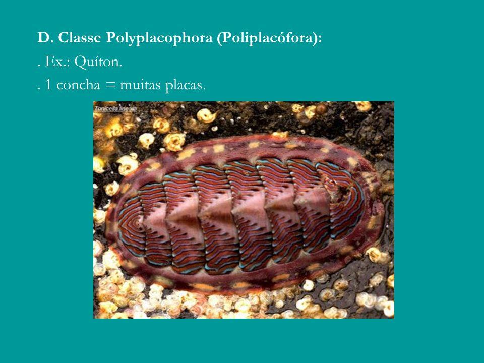 D. Classe Polyplacophora (Poliplacófora):