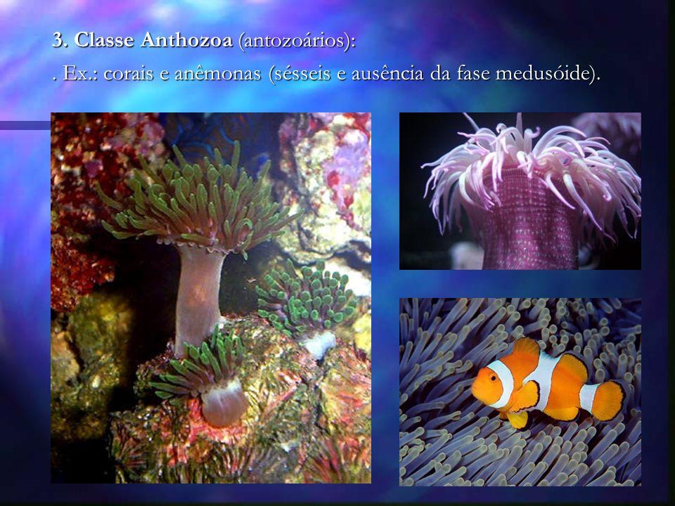 3. Classe Anthozoa (antozoários):