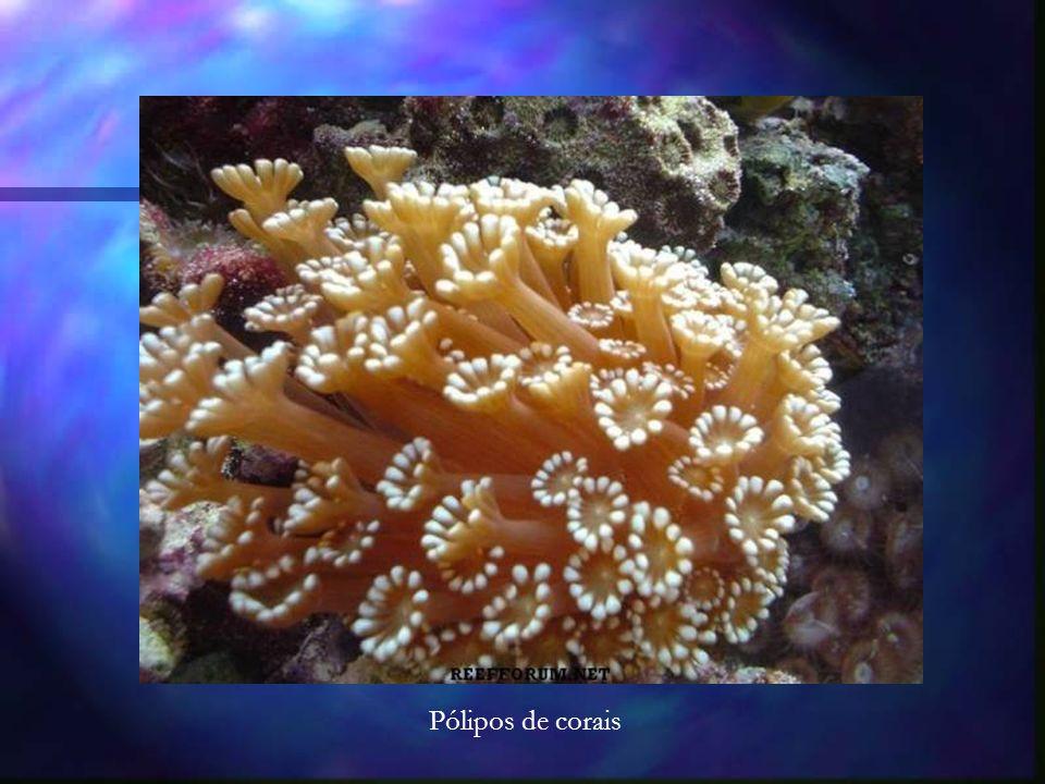 Pólipos de corais