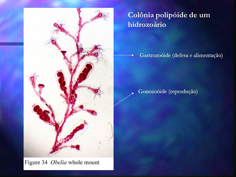 Colônia polipóide de um hidrozoário