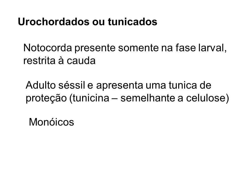 Urochordados ou tunicados