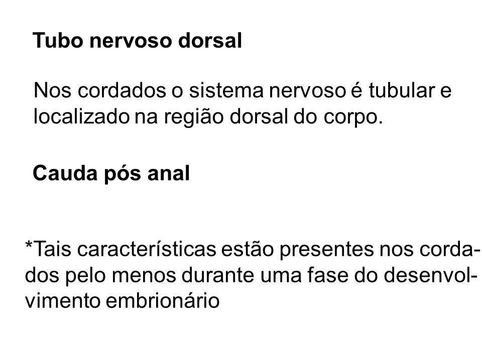 Tubo nervoso dorsal Nos cordados o sistema nervoso é tubular e. localizado na região dorsal do corpo.
