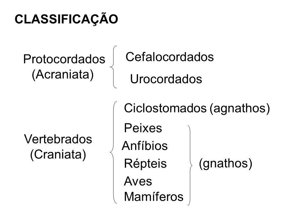 CLASSIFICAÇÃO Cefalocordados. Protocordados. (Acraniata) Urocordados. Ciclostomados (agnathos) Peixes.