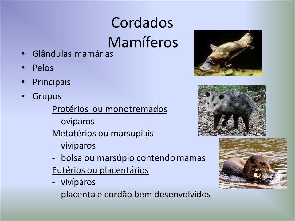 Cordados Mamíferos Glândulas mamárias Pelos Principais Grupos