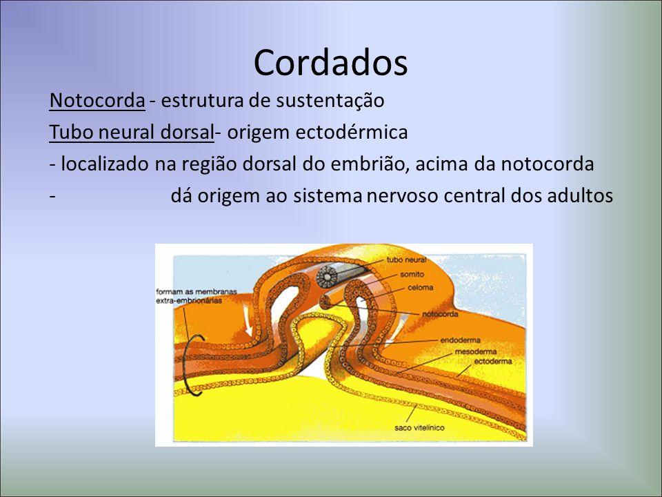 Cordados Notocorda - estrutura de sustentação