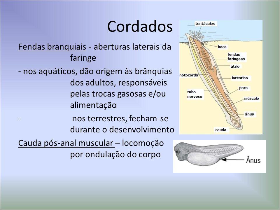 Cordados Fendas branquiais - aberturas laterais da faringe
