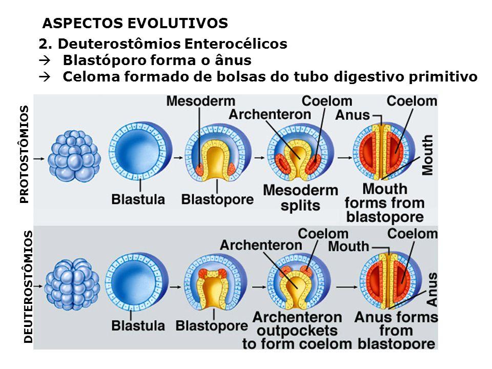 2. Deuterostômios Enterocélicos Blastóporo forma o ânus