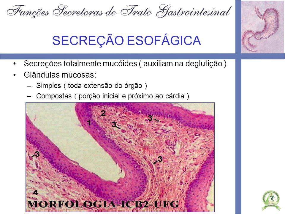 SECREÇÃO ESOFÁGICASecreções totalmente mucóides ( auxiliam na deglutição ) Glândulas mucosas: Simples ( toda extensão do órgão )