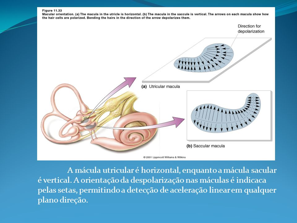 A mácula utricular é horizontal, enquanto a mácula sacular é vertical