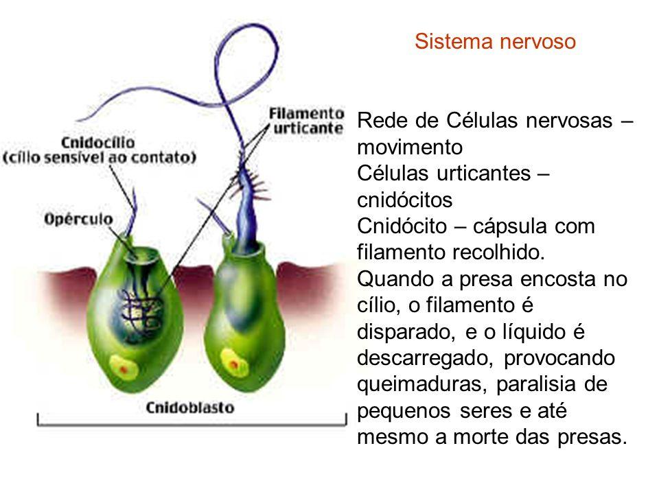 Sistema nervoso Rede de Células nervosas – movimento. Células urticantes – cnidócitos. Cnidócito – cápsula com filamento recolhido.