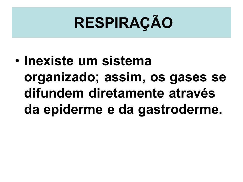 RESPIRAÇÃOInexiste um sistema organizado; assim, os gases se difundem diretamente através da epiderme e da gastroderme.
