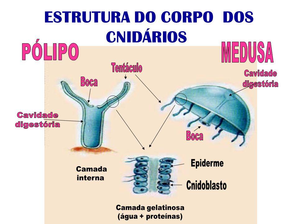 ESTRUTURA DO CORPO DOS CNIDÁRIOS