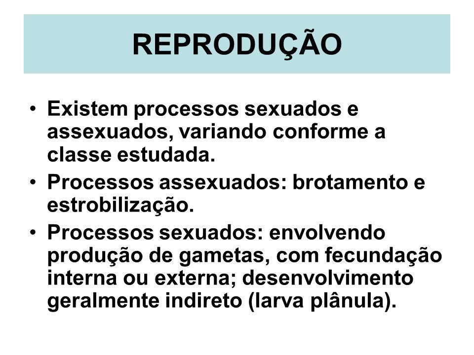 REPRODUÇÃO Existem processos sexuados e assexuados, variando conforme a classe estudada. Processos assexuados: brotamento e estrobilização.