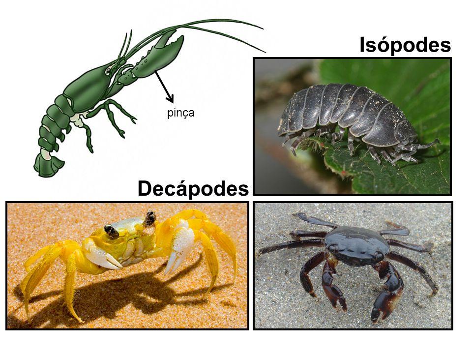 Isópodes pinça Decápodes