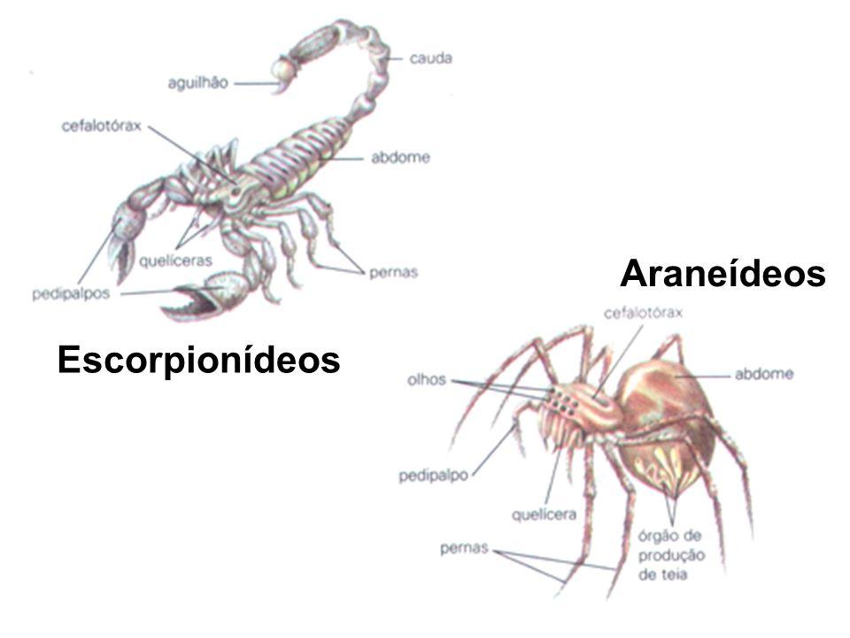 Araneídeos Escorpionídeos