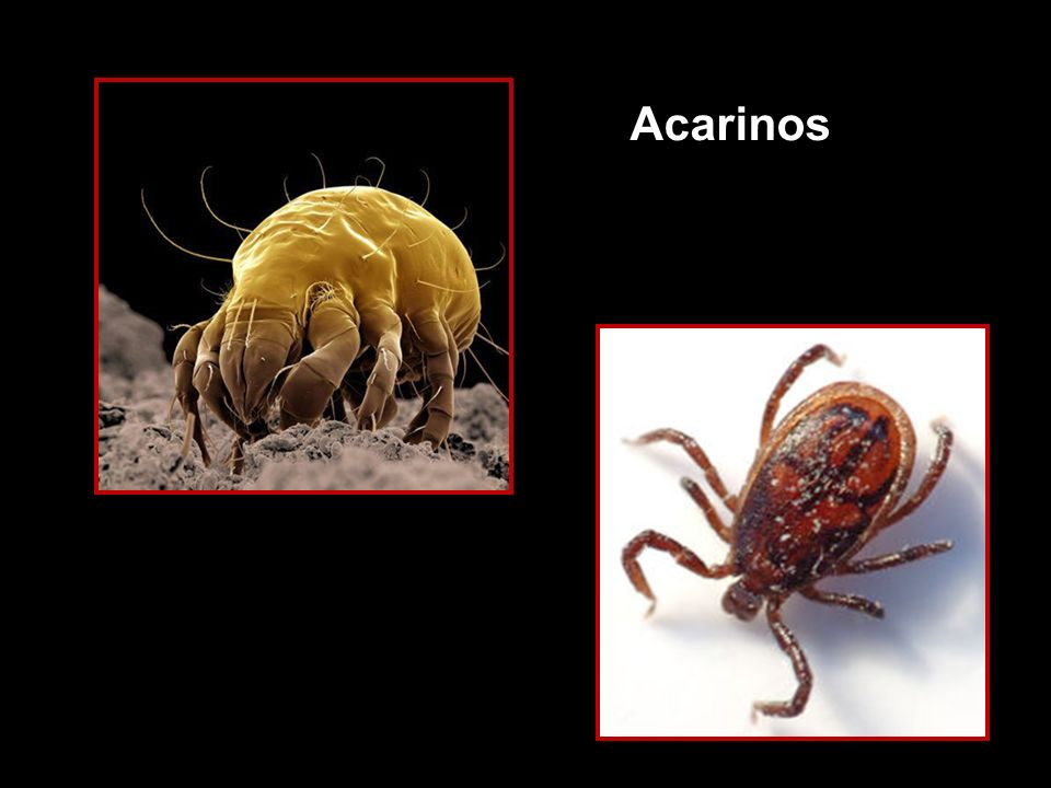 Acarinos