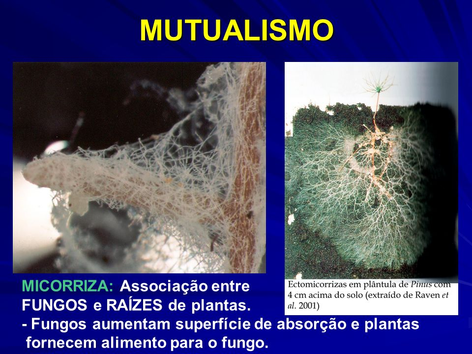 MUTUALISMO MICORRIZA: Associação entre FUNGOS e RAÍZES de plantas.
