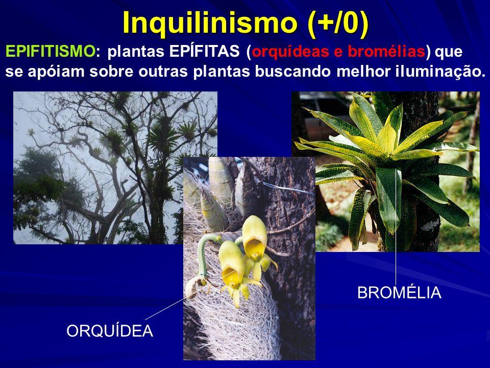 Inquilinismo (+/0) EPIFITISMO: plantas EPÍFITAS (orquídeas e bromélias) que. se apóiam sobre outras plantas buscando melhor iluminação.