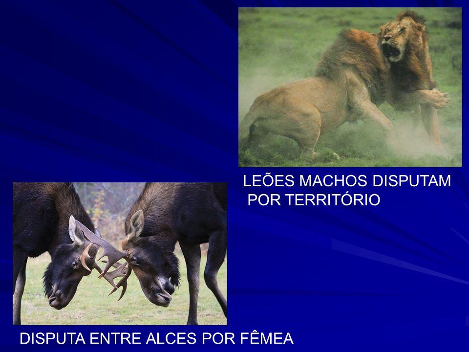 LEÕES MACHOS DISPUTAM POR TERRITÓRIO DISPUTA ENTRE ALCES POR FÊMEA