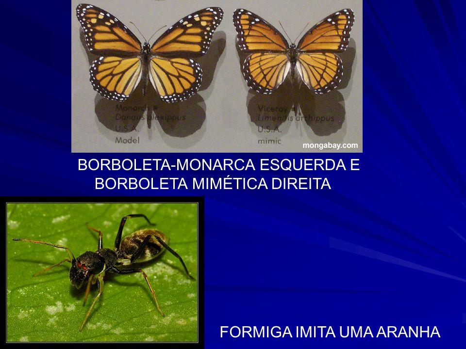 BORBOLETA-MONARCA ESQUERDA E
