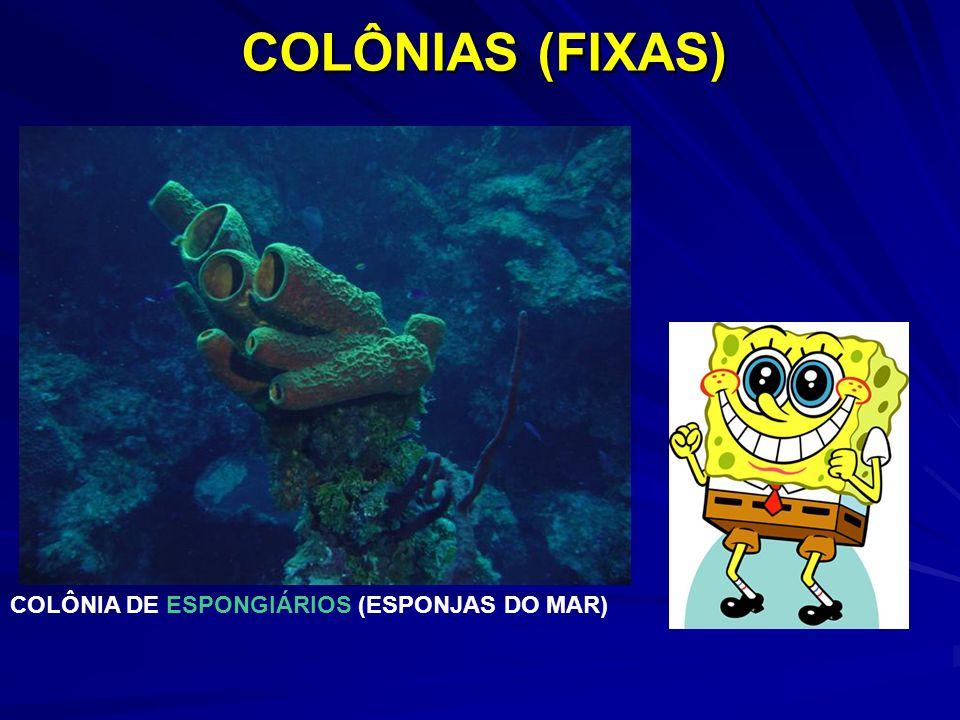 COLÔNIAS (FIXAS) COLÔNIA DE ESPONGIÁRIOS (ESPONJAS DO MAR)