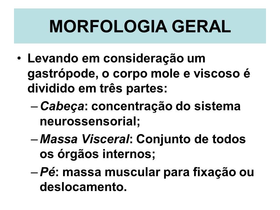 MORFOLOGIA GERAL Levando em consideração um gastrópode, o corpo mole e viscoso é dividido em três partes: