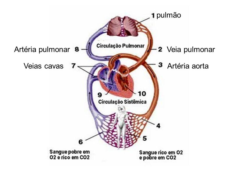 Veia pulmonar Artéria pulmonar Veias cavas Artéria aorta pulmão