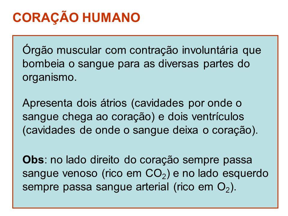 CORAÇÃO HUMANO Órgão muscular com contração involuntária que