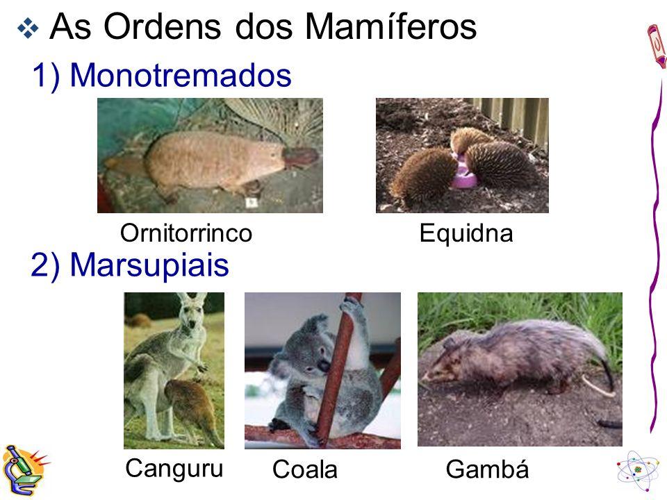 1) Monotremados 2) Marsupiais As Ordens dos Mamíferos Ornitorrinco