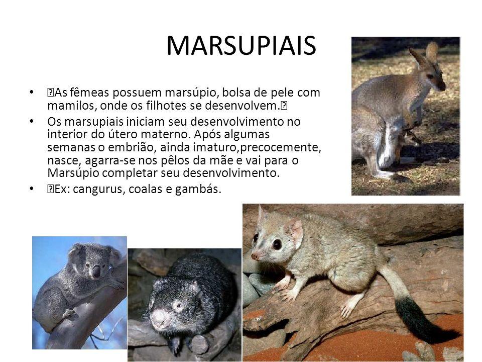 MARSUPIAIS‡As fêmeas possuem marsúpio, bolsa de pele com mamilos, onde os filhotes se desenvolvem.‡