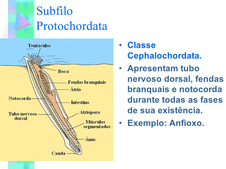 Subfilo Protochordata