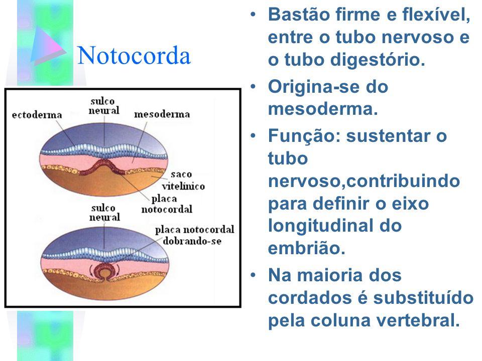 Notocorda Bastão firme e flexível, entre o tubo nervoso e o tubo digestório. Origina-se do mesoderma.