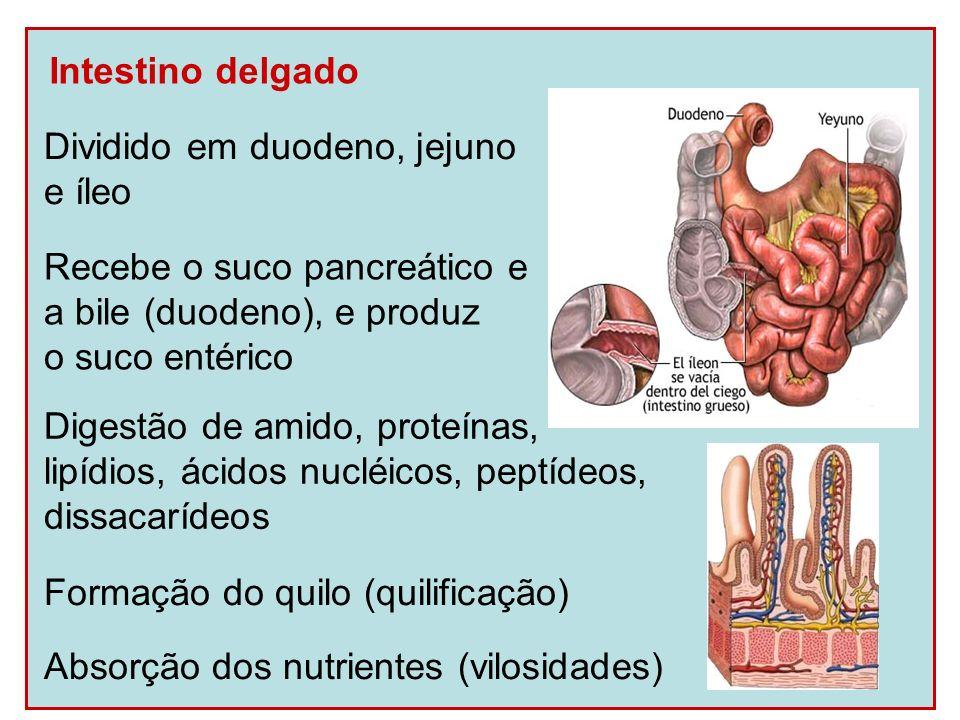 Intestino delgadoDividido em duodeno, jejuno. e íleo. Recebe o suco pancreático e. a bile (duodeno), e produz.