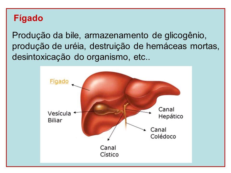Fígado Produção da bile, armazenamento de glicogênio, produção de uréia, destruição de hemáceas mortas,