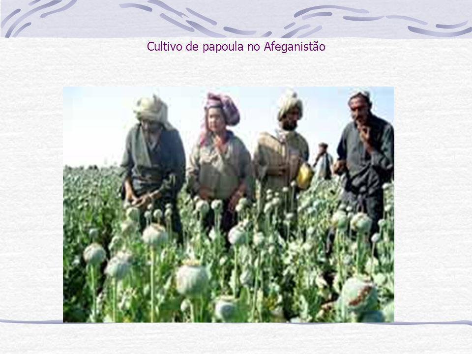 Cultivo de papoula no Afeganistão