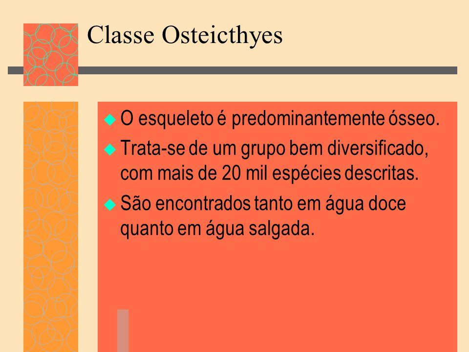 Classe Osteicthyes O esqueleto é predominantemente ósseo.