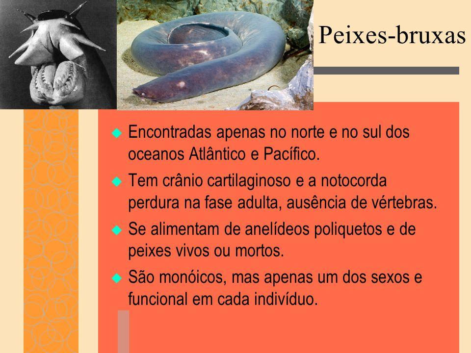 Peixes-bruxas Encontradas apenas no norte e no sul dos oceanos Atlântico e Pacífico.