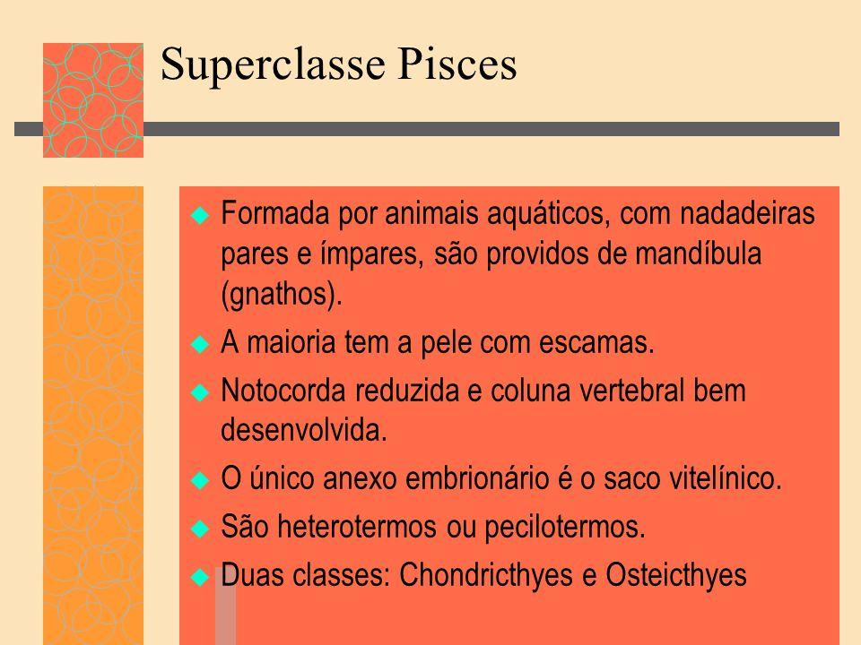 Superclasse Pisces Formada por animais aquáticos, com nadadeiras pares e ímpares, são providos de mandíbula (gnathos).